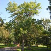 Location: Glenwood Park in Batavia, IllinoisDate: 2010-08-18full-grown tree