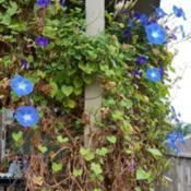 Location: Fair Oaks Ranch, TXDate: 2017-11-08I thought my morning glories were all done, but was ple
