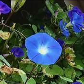 Location: Fair Oaks Ranch, TXDate: 2017-11-08Heavenly Blue morning glory.  Planted the seeds in late
