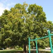 Location: Sunset Park in Glen Ellyn, IllinoisDate: 2010-08-18full-grown tree planted in park
