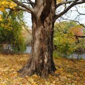 Location: Hibernia County Park in southeast PennsylvaniaDate: 2015-10-31trunk of a full-grown tree