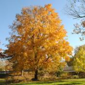 Location: Kerr Park in Downingtown, PennsylvaniaDate: 2016-11-06mature tree in autumn color