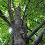 Location: Morton Arboretum in Lisle, IllinoisDate: 2017-08-23looking up the trunk into the crown