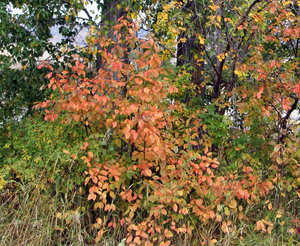 Photo of Serviceberry (Amelanchier alnifolia) uploaded by lauribob
