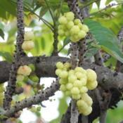 Location: Sumatera IndonesiaDate: 2017-11-12ripe fruits