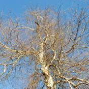 Location: Fraser, PennsylvaniaDate: 2015-01-11looking up the trunk of a tree