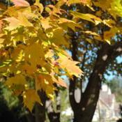 Location: southeast pennsylvaniaDate: 2010-11-09leaves with yellow fall color, not a cultivar