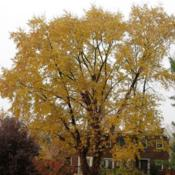 Location: southeast pennsylvaniaDate: November 2016full-grown tree in fall color
