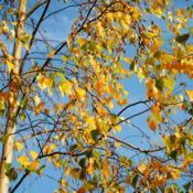 Location: Downingtown, PennsylvaniaDate: 2010-10-14leaves in golden fall color