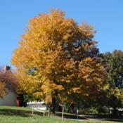 Location: southeast pennsylvaniaDate: 2015-10-24full-grown tree in landscape with orange fall color