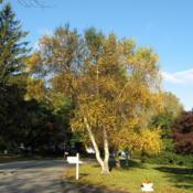 Location: West Chester, PennsylvaniaDate: 2008-10-30full-grown planted tree in autumn with two others behind