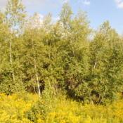 Location: Blakeslee, Pennsylvania in southern PoconosDate: 2016-09-14a grove of wild trees with goldenrod in bloom