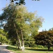 Location: West Chester, pennsylvaniaDate: 2011-08-05three trees in a line on left side of photo