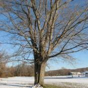 Location: Downingtown, PennsylvaniaDate: 2007-12-06full-grown tree in winter