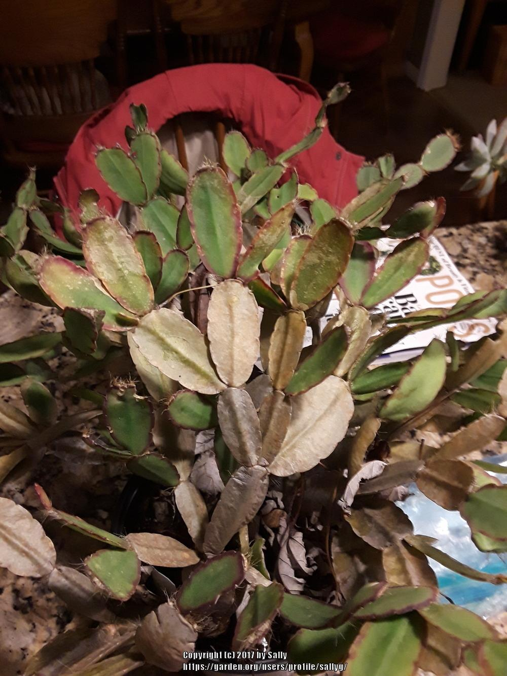 Houseplants forum: Hatiora, Easter cactus, brown stems and thin ...