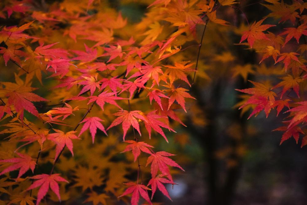 photo of the fall color of japanese maple acer palmatum. Black Bedroom Furniture Sets. Home Design Ideas