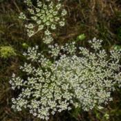 Location: Clinton, Michigan 49236Date: 2017-11-14Daucus carota, 2016, Queen Anne's Lace, aka Wild Carrot, DO-kus k