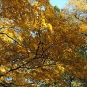 Location: Jenkins Arboretum in Berwyn, PADate: 2012-10-21part of tree crown in autumn color