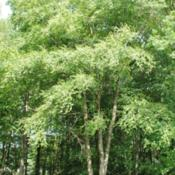 Location: French Creek State Park in southeast PennsylvaniaDate: 2010-06-13full-grown wild tree at forest edge