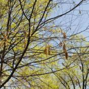 Location: Jenkins Arboretum in Berwyn, PADate: 2015-04-26yellow catkins (birch flowers) in bloom in spring