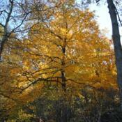 Location: Jenkins Arboretum in Berwyn, PennsylvaniaDate: 2012-10-21full-grown tree in autumn color