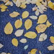 Location: Jenkins Arboretum in Berwyn, PADate: 2012-10-21fallen leaves on path in autumn