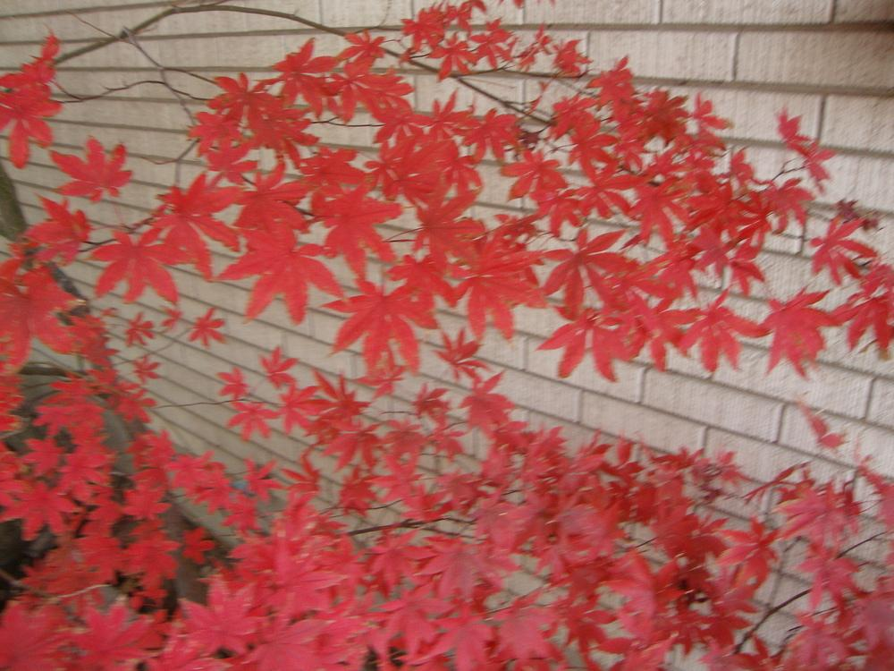 Photo of Japanese Maple (Acer palmatum 'Bloodgood') uploaded by Paul2032