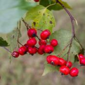 Location: Clinton, Michigan 49236Date: 2017-11-15Crataegus phaenopyrum, 2017, [Washington Hawthorn], kruh-TEE-gus