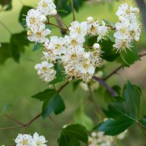 Crataegus phaenopyrum, 2017, [Washington Hawthorn], kruh-TEE-gus
