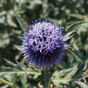 Location: Clinton, Michigan 49236Date: 2017-11-16Echinops ritro 'Veitch's Blue' 2014, Small Globe Thistle, eh-KYE-