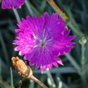 Location: Clinton, Michigan 49236Date: 2017-11-15Dianthus 'Feuerhexe' FIREWITCH, 2017, Cheddar [Pinks], dye-jap-th