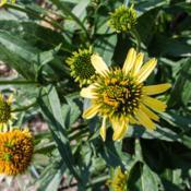 Location: Clinton, Michigan 49236Date: 2017-11-16Echinacea 'Cleopatra', 2017, Hybrid [Coneflower], eck-ih -NAY-see