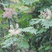 Location: Hawk Mountain Bird Sanctuary in southeast PADate: 2015-08-27close-up of foliage and blooms