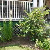 Location: Wayne, PennsylvaniaDate: 2016-07-13a maturing shrub planted at a foundation