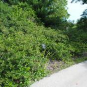 Location: Morton Arboretum in Lisle, ILDate: 2015-06-24a mass of shrubs
