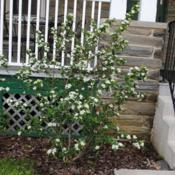 Location: Wayne, PennsylvaniaDate: April 2017shrub in bloom