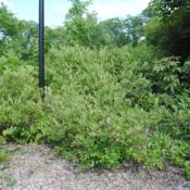 Location: Morton Arboretum in Lisle, ILDate: 2016-07-23shrubs massed in a planting