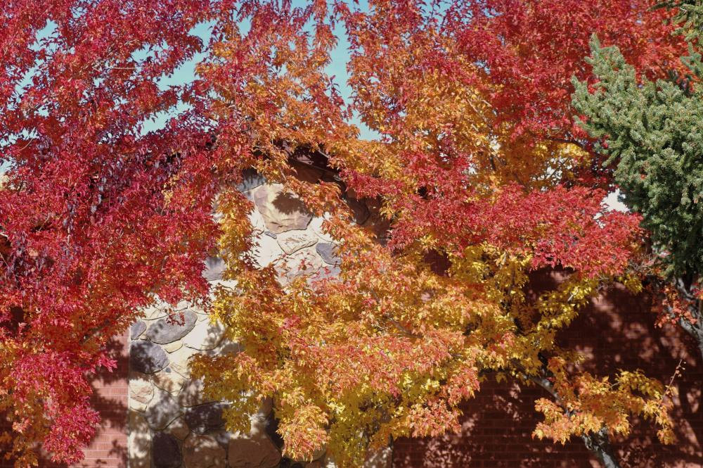 Photo of Amur Maple (Acer tataricum subsp. ginnala) uploaded by dirtdorphins