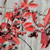 Location: Downingtown, PennsylvaniaDate: 2010-11-11red fall color of leaves with red fruit