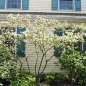Location: West Chester, PennsylvaniaDate: 2010-04-24full-grown shrub in bloom