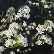 Location: Downingtown, PennsylvaniaDate: 2012-04-19close-up of flower clusters