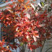 Location: West Chester, PennsylvaniaDate: 2009-10-26crown of maturing shrub in fall color