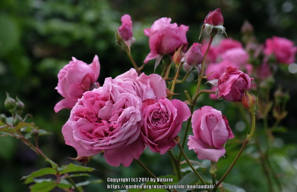 Photo of Rose (Rosa 'Magenta') uploaded by bootandall