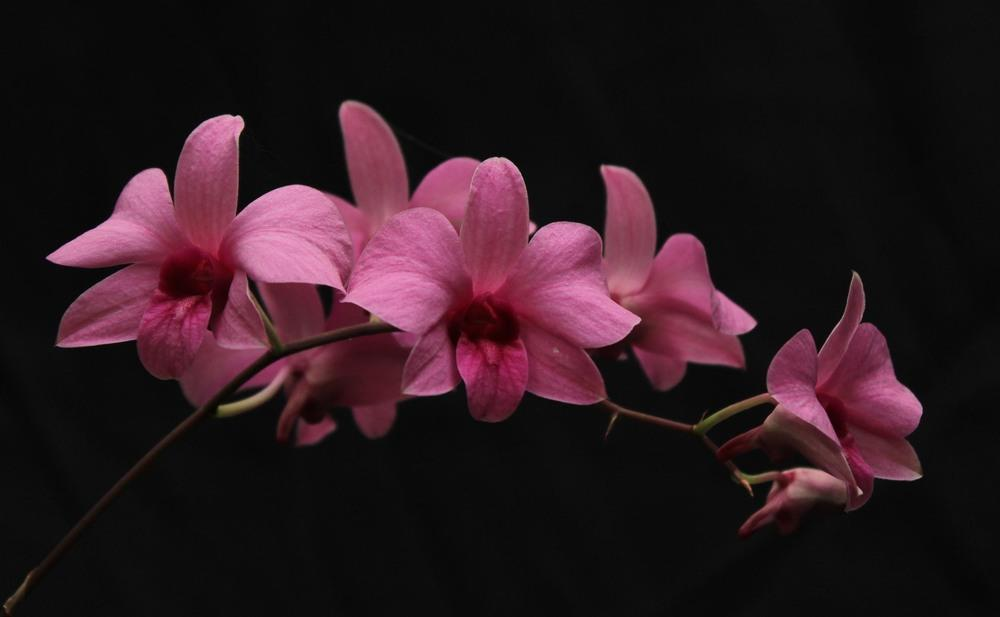 Photo of Orchid (Dendrobium Madame Juulie Sulianti) uploaded by Lucichar