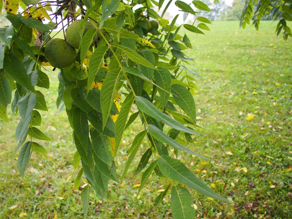 Photo of the leaves of Black Walnut (Juglans nigra) posted