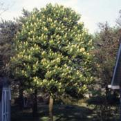 Location: northeast IllinoisDate: May in 1980'sa maturing tree in bloom