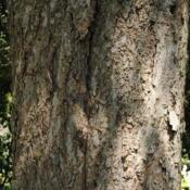 Location: Cantigny Park in Wheaton, ILDate: 2010-08-18bark of a really big, old trunk