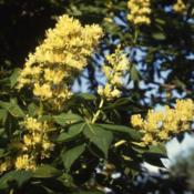 Location: northeast IllinoisDate: May 1980'syellow flower clusters