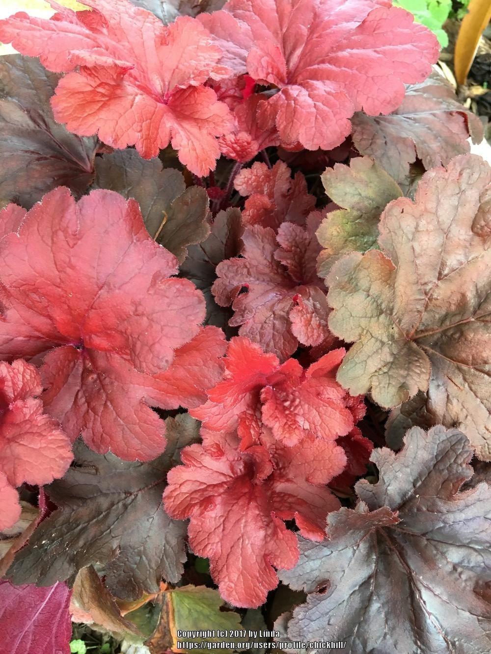 Photo of Coral Bells (Heuchera 'Fire Alarm') uploaded by chickhill