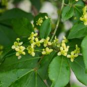 "Location: Clinton, Michigan 49236Date: 2015-05-21""Euonymus alatus 'Compactus', 2015, dwarf-Winged burnin"